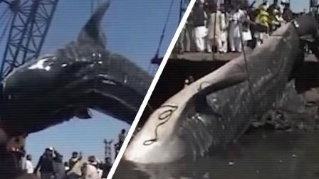 巨齿鲨还有可能存在这个世界上