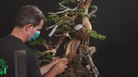 盆景塑造十大技艺, 这老外竟在一棵盆景上用了好多种, 佩服这技术高