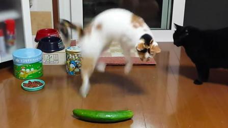 猫为什么会害怕黄瓜? 原因很简单, 看完承包一天笑点!