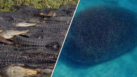 盘点5个最大型的爬行类动物聚会, 蛇、鳄鱼、鲨鱼、有密集恐惧症渗入