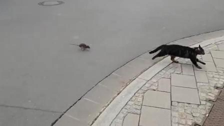 黑猫被老鼠追着满街跑 吓到惊慌失措