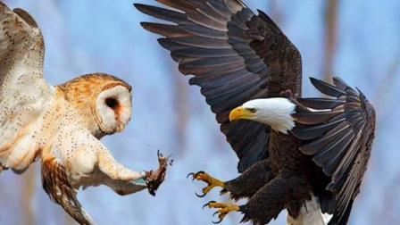 """老鹰都不是猫头鹰的对手, 谁才是真正的""""空中霸主""""呢?"""