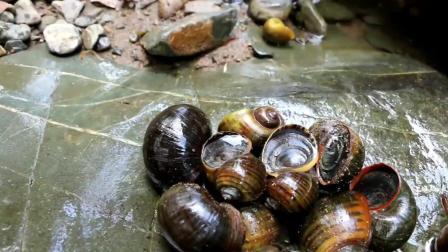 野外美食: 女子野外捡福寿螺吃, 这可是有寄生虫的