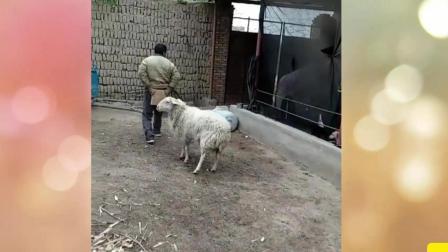羊哎呀妈呀脑瓜疼 脑瓜疼