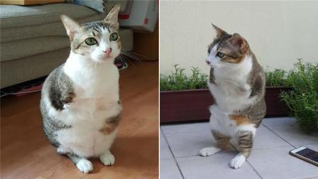 世界上最励志的猫咪, 靠两条后腿直立行走, 网友: 霸王喵!