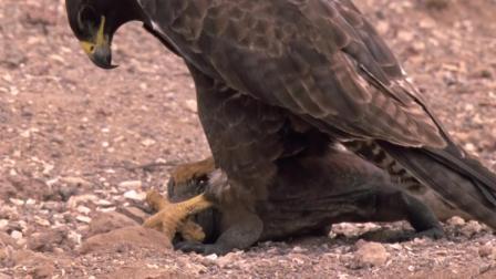 实拍: 鹰抓鬣蜥全过程, 因为太重, 它差点飞不起来!