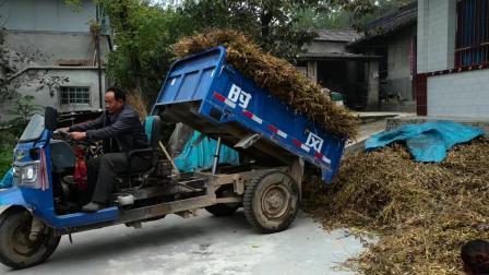 西北农村割黄豆, 今年的收成怎么样?