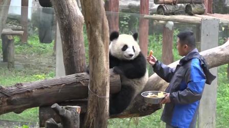 它可能已经知道自己是国宝了, 大熊猫全程卖萌, 太逗了!
