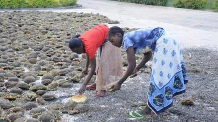 中国人在非洲土地上种向日葵被嘲笑 尝到甜头后一抢而空
