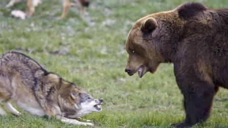 老对手的殊死搏杀, 暴怒棕熊大战气势汹汹的恐怖狼群