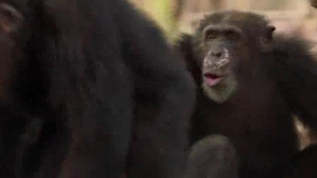 黑猩猩交配前竟然有这个步骤,可怜了首领猩猩