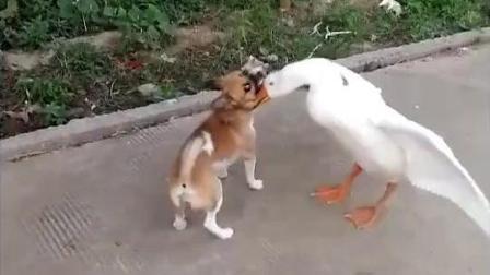 可怜天农村三霸: 大鹅、公鸡、土狗, 惹了不该惹的就是这下场。