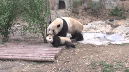 熊猫宝宝离家出走的悲催史, 再顽强, 也躲不过被拖回家的命运