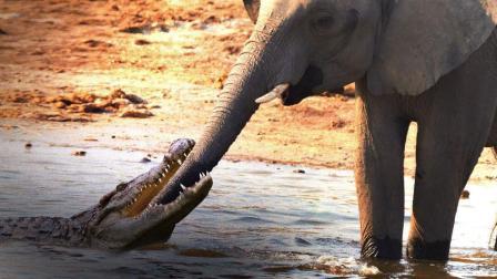 大象在河边喝水, 突遭水中鳄鱼咬住鼻子, 鳄鱼: 还没吃过大象呢