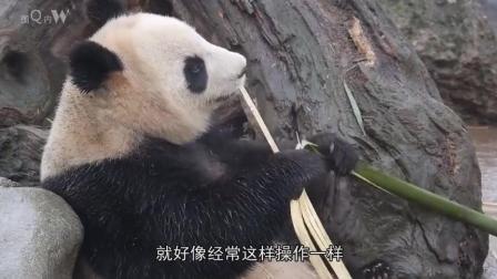 """熊猫不愧是国宝级别! 竟用竹子练习""""铁头功"""", 网友: 这智商高的离谱!"""