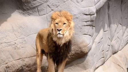 霸气的375公斤的狮王, 能否秒杀东北虎?