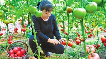 种植番茄想高产, 这俩营养要弄清, 高手种植, 就靠它赚钱了