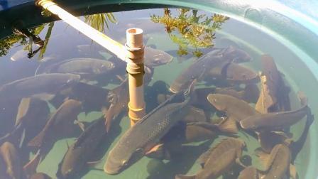大桶里养罗非鱼, 把它们养得挺大的