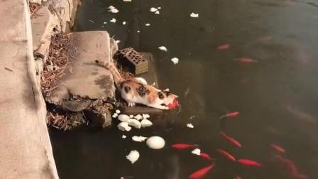 哈哈哈哈哈, 会抓鱼的喵