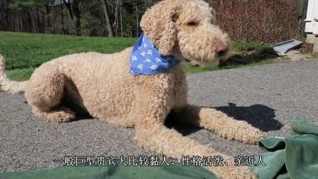 不为人知的巨型贵宾犬, 你认识吗? 网友: 造型百科!