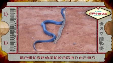 蓝色蟒蛇竟将响尾蛇咬杀后拖入自己巢穴
