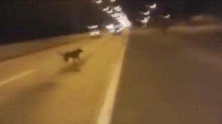 两辆车在马路上狂飙 竟凭空出现一只狗穿越马路