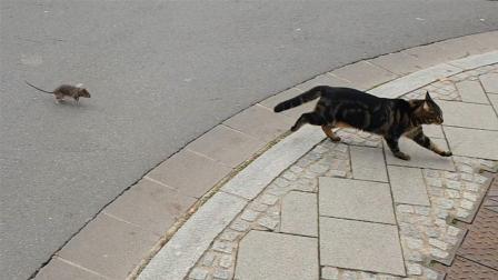 世界上最惨的猫, 被老鼠追得满街乱窜, 网友: 真丢猫脸!