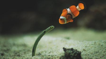 世界上最胆小的鱼