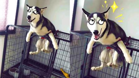 宠物智商爆表, 二哈都会越狱了!