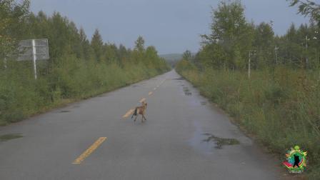 在无人的大兴安岭深处, 偶然拍到它, 是狗? 是狼? 还是狐狸?