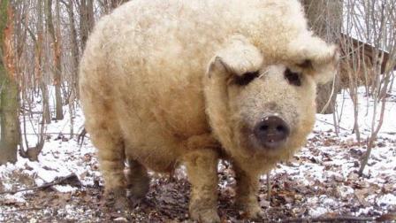 长着羊毛的猪你见过吗? 至今已有百年历史, 还只在国外有