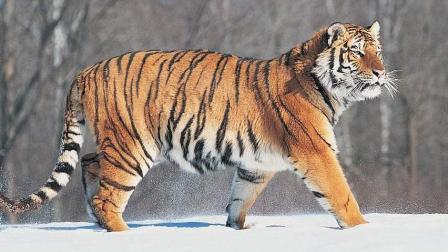 硬碰硬的激烈厮杀, 东北虎遭遇黑熊必有一番殊死的较量