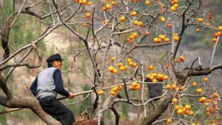 老农民在摘柿子时, 为什么要在柿子树顶留几个?
