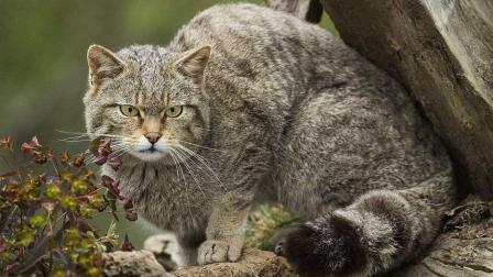大战一触即发, 凶猛野猫遭遇野狐狸可谓是火药味十足