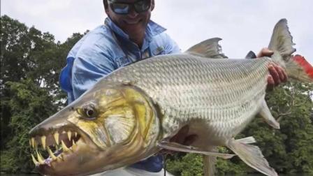 世界上最凶猛的鱼, 以鳄鱼为食, 脾气和平头哥有一拼!