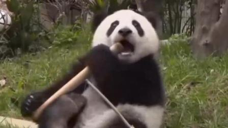 """熊猫中的""""哈士奇""""? 卖萌, 我可是专业的……"""