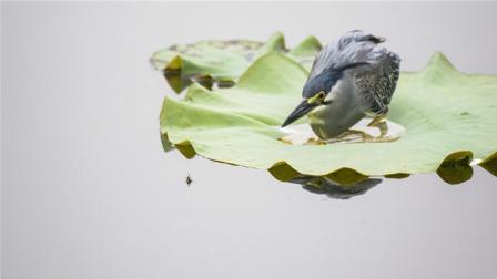 世界上最聪明的鸟, 为了吃鱼竟然学会了钓鱼, 这是吃货的力量