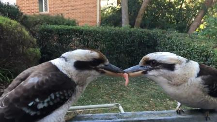 两只澳洲国鸟为争一小块肉 在寒风中死磕数小时