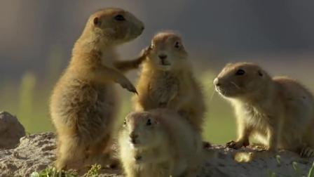 一只假土拨鼠混进了土拨鼠们的领地, 土拨鼠: 热烈欢迎!