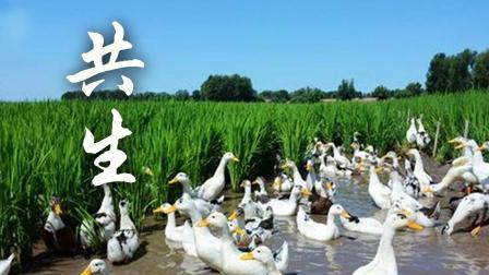 中国原产递 味黑龙江 124 纯粹有机大米 鸭田米 共生
