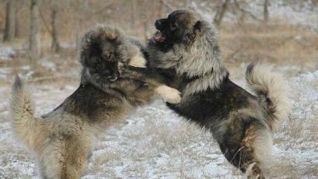 """世界上最大的狗, 可以3分钟秒杀藏獒, 是真正的""""犬中之王"""""""