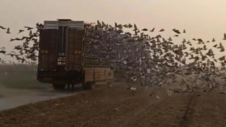 重型卡车满载一大车鸽子, 离家千里之外放鸽子依然可以飞回老家