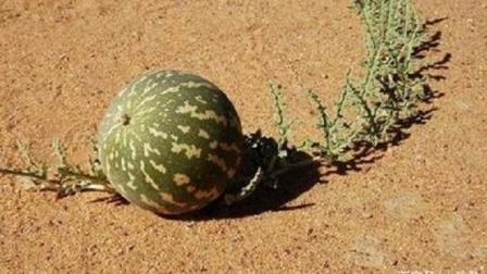 """在极度缺水时, 为什么说沙漠里的""""大西瓜""""切记不能碰?"""