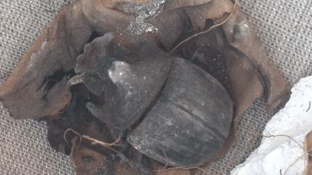 埃及金字塔挖出巨型食人虫! 体长70厘米六条腿, 日本专家已接手