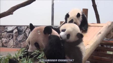 这一大家子熊猫太可爱了, 妈妈只知道啃竹子, 旁边打的不可开交!