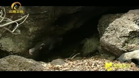 黑猩猩带女儿进洞午睡, 一岁大小猩猩独自摆弄棍子玩耍
