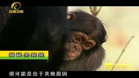 奇! 母猩猩受伤痛苦不堪, 雄猩猩竟再次主动出手, 帮忙抱娃两天
