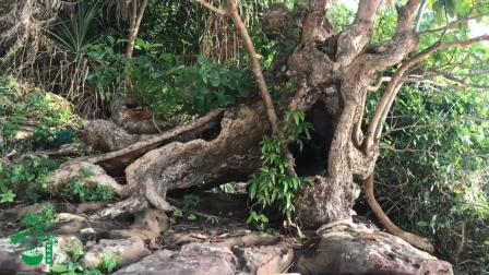 山上奇树多, 这棵树木造型奇特有个性, 大叔看到赶紧去拍照留念