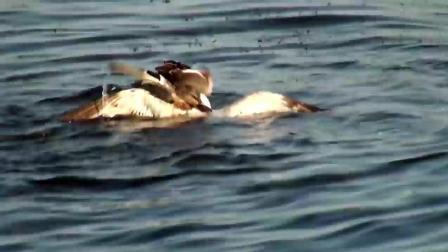 海鸥捕食鱼儿靠小鸭子太近, 母鸭子为保护宝宝, 把海鸥打的妈都不认得