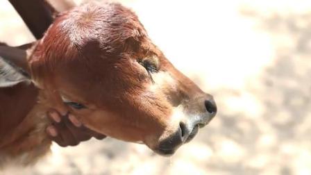 小牛犊虽然先天畸形长了两头两鼻子, 还好主人关爱长得好好地!